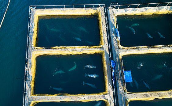 Un centenar de orcas y belugas permanecen prisioneras en minúsculos cubículos en las gélidas aguas rusas a la espera de ser vendidas a acuarios en China
