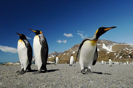 Pingüinos reales en la Antártida